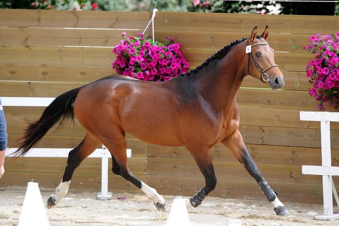 Vente amiable de jeunes chevaux de sport du 30 mai au 2 juin 2019 au Haras de Lamballe